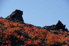 Small tree in spring at Nea Kameni island,Santorini. Royalty Free Stock Photo