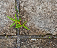 Small tree sprouting through grunge wall Royalty Free Stock Photo