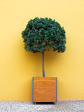 Small tree in a square pot. A small tree in a square pot in front of an orange wall. Photo taken in Funchal, Madeira island, Portugal Royalty Free Stock Photos