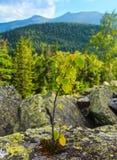 Small tree on stone, Carpathian, Ukraine Stock Photography