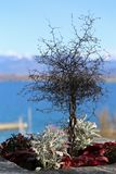 Small Tree with Stunning Blue and White Alp View in the Background royalty free stock photo
