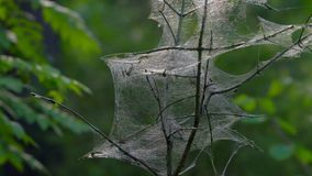 A small tree tangled in cobwebs. The cobweb  is created by insects-silkworm caterpillars. Insects pests killed a tree. Cobweb gl. Istening in the sun. Sunny stock video footage