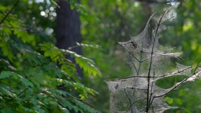 A small tree tangled in cobwebs. The cobweb  is created by insects-silkworm caterpillars. Insects pests killed a tree. Cobweb gl. Istening in the sun. Sunny stock footage