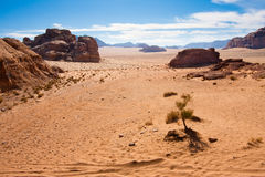 Small tree in Wadi Rum desert,. Small plant in the Wadi Rum desert reservation, Jordan stock images