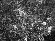 Small tree with white flowers blooming Royalty Free Stock Photos