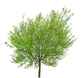 Small tree on white with green leaves Stock Photos