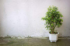 Small tree in white pot on  background concrete wall Royalty Free Stock Photography