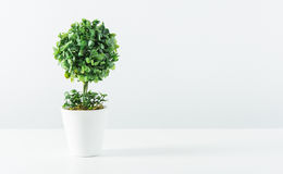 Small tree in white pot isolated Royalty Free Stock Photo