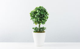 Small tree in white pot isolated Royalty Free Stock Images