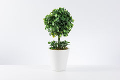 Small tree in white pot  Stock Photo