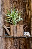 Small tree is in wooden flowerpot with wooden background. Royalty Free Stock Image