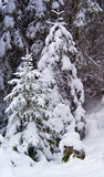 Small trees. Two small spruce trees buried under fresh snow royalty free stock photography