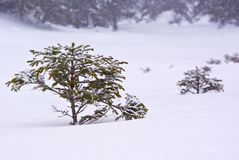 Small trees. Young small trees in winter and deep snow royalty free stock images