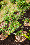 Small trees. Small green leaved decoration bush Royalty Free Stock Photo