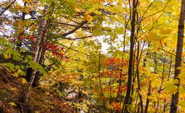Small trees with many different colors. Photo taken from inside a beautiful forest during autumn 2018 in the Province of Quebec, Canada royalty free stock photos