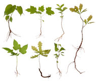 Small trees with roots stock photos