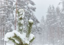 Small trees in snow-covered forests. little Christmas tree in the snow. Snow. snowy weather outside the city stock photos