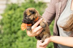 Small tricolor puppy with an orange bow