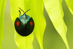 Small tropical beetle Stock Image