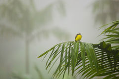 Small Tropical Bird in Costa Rican Rain Forest Stock Images