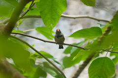 Small tropical bird with orange beak. On a thin branch Royalty Free Stock Images