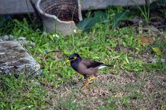 A small tropical bird with a yellow beak looking for food in grass in. A Thai village Stock Photos