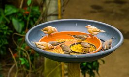 Small tropical birds sitting in a feeding tray eating seeds, bird feeding solutions, keeping and taking care of exotic birds. Many small tropical birds sitting stock image