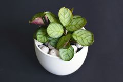 Small tropical `Ctenanthe Burle Marxii Amagris` plant in white flower pot with white expanded clay pellets on black background