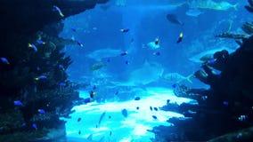 Small tropical fish and big sharks swim together in big aquarium. Underwater life, exotic fauna, ocean inhabitants stock video footage