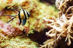 Small Tropical Fish Stock Image