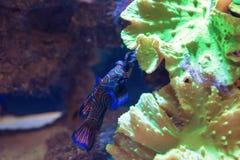 Small tropical fish Mandarinfish Stock Image