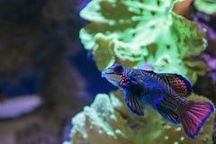Small tropical fish Mandarinfish Royalty Free Stock Photos
