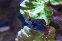 Small tropical fish Mandarinfish Royalty Free Stock Image