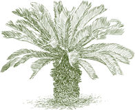 Small tropical palm tree Royalty Free Stock Images
