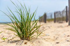Small tuft of beach grass in front of fence royalty free stock photos