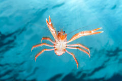 Small tuna crab swimming on ocean Stock Photography