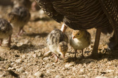 Small turkeys. Young turkeys under his mom Stock Images