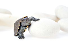 Small turtle Royalty Free Stock Photo