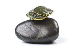 Small Turtle Royalty Free Stock Photos