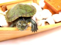 Small turtle Royalty Free Stock Images