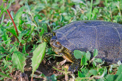 The small turtle. On the green grass Stock Photo