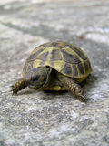 Small turtle. On stone background Stock Image