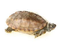 Small turtle Royalty Free Stock Photography