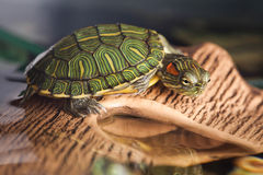 Small turtle Royalty Free Stock Photos