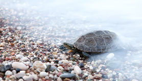 Small turtle crawling in sea waves Royalty Free Stock Photos