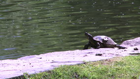 Small turtle enjoying the water (2 of 6) stock video footage
