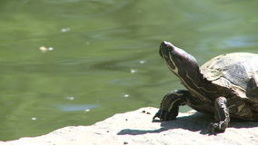 Small turtle enjoying the water (4 of 6) stock video footage