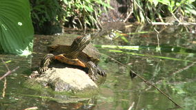 Small turtle enjoying the water (5 of 6) stock video footage