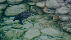Small turtle in the lake with stones stock video footage
