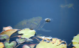 Small turtle looking out of the lake Royalty Free Stock Photo